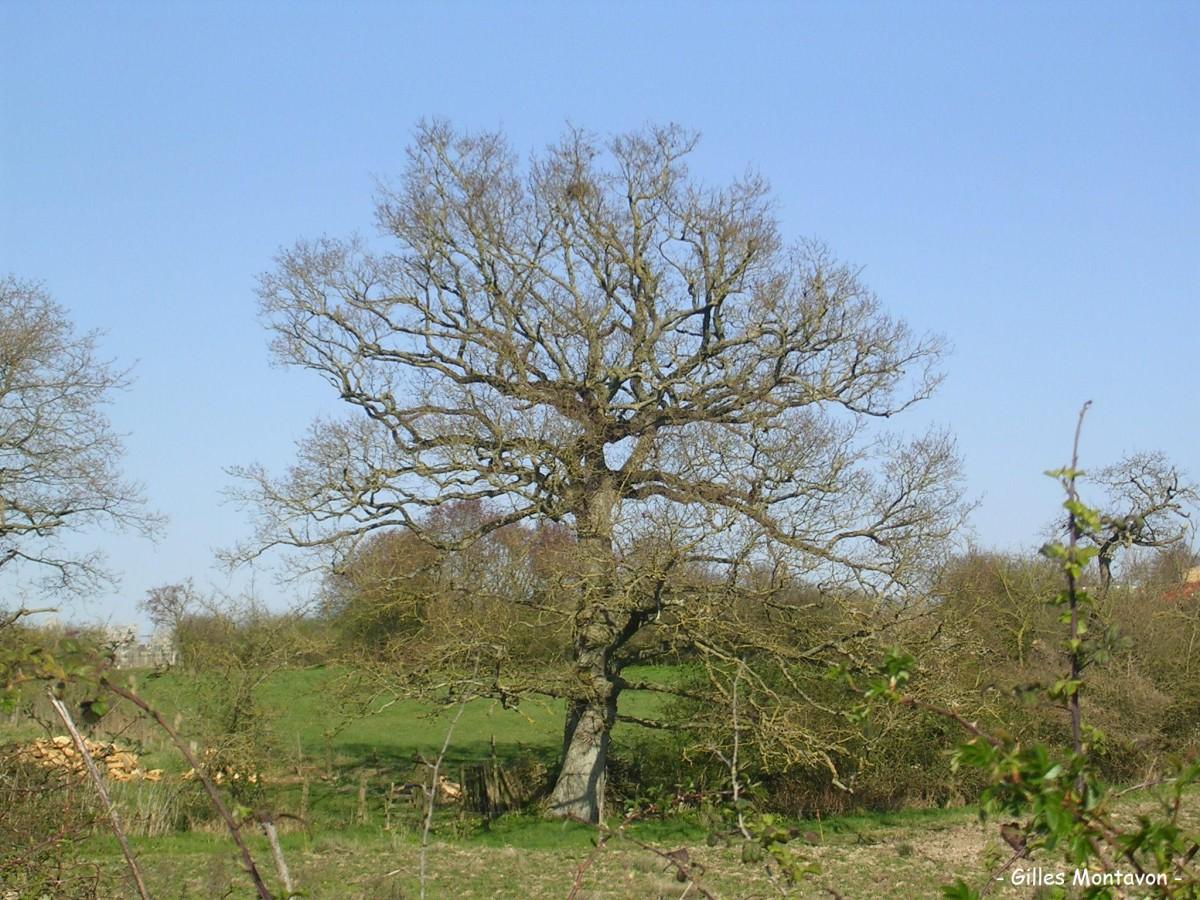 Chêne du chemin du ruisseau dans 49 - Maine-et-Loire chcer4