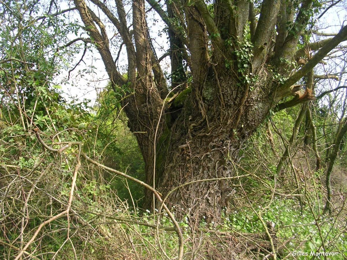 Chêne de Gilbourg dans 49 - Maine-et-Loire gilbourg6