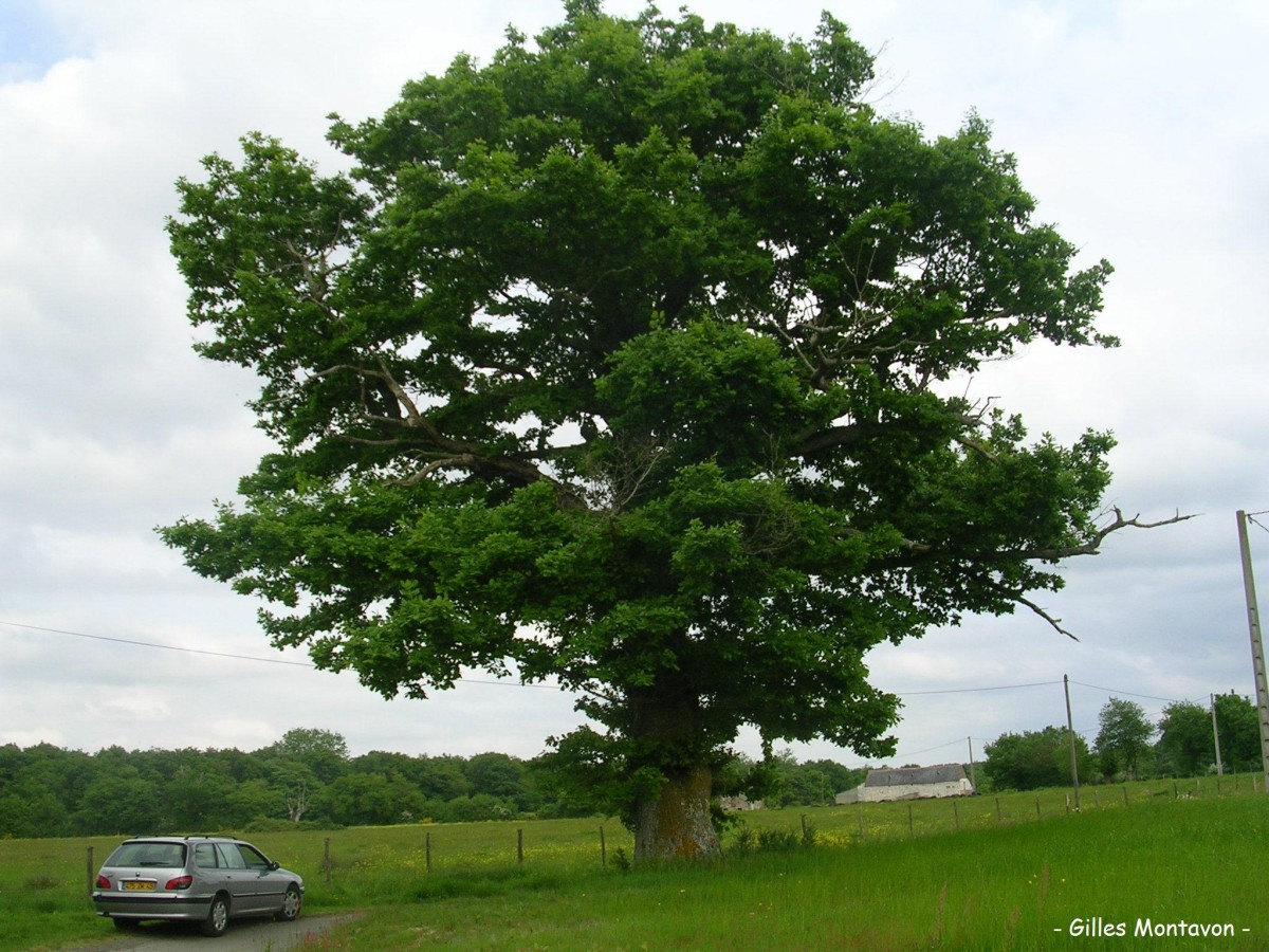 Chêne de la Binauderie dans 49 - Maine-et-Loire 1ch425