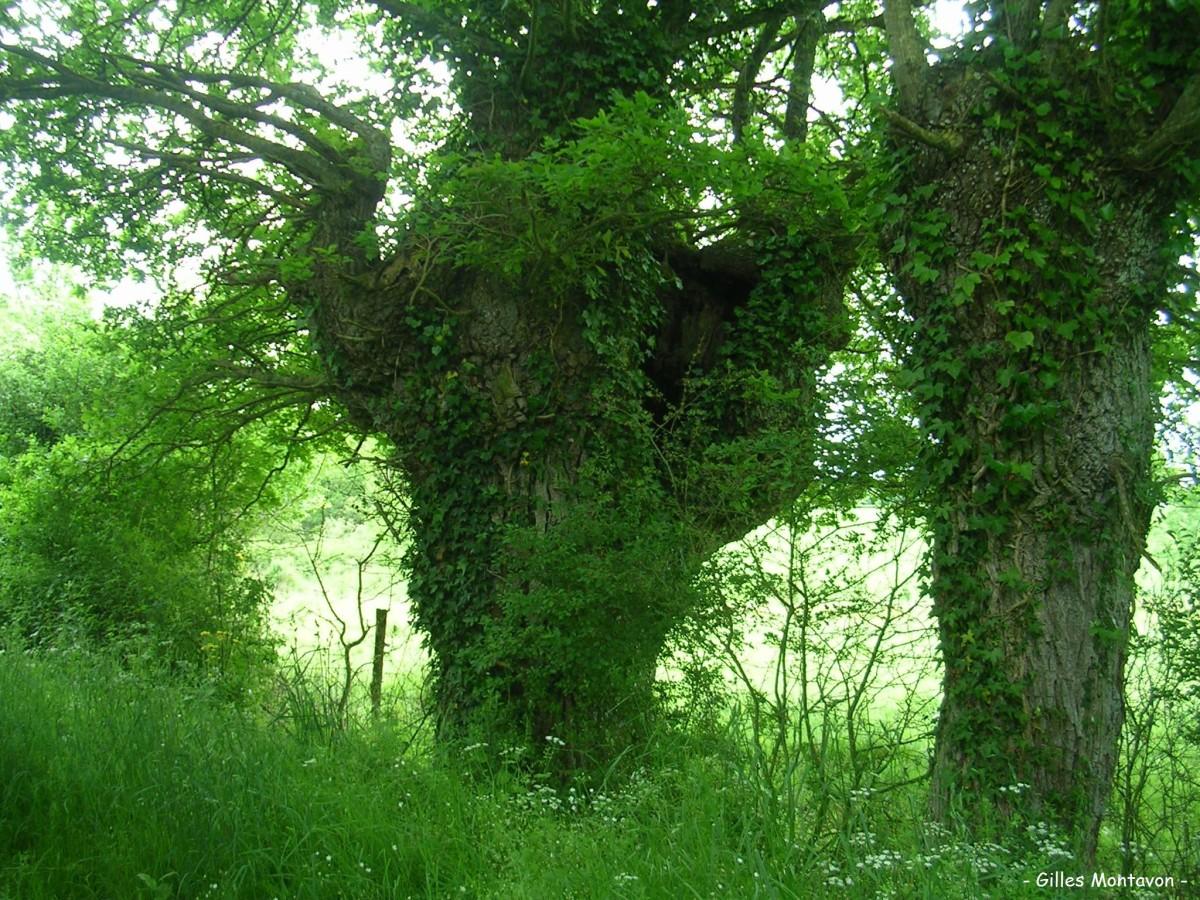 Chêne de la vacherie dans 49 - Maine-et-Loire chvach1