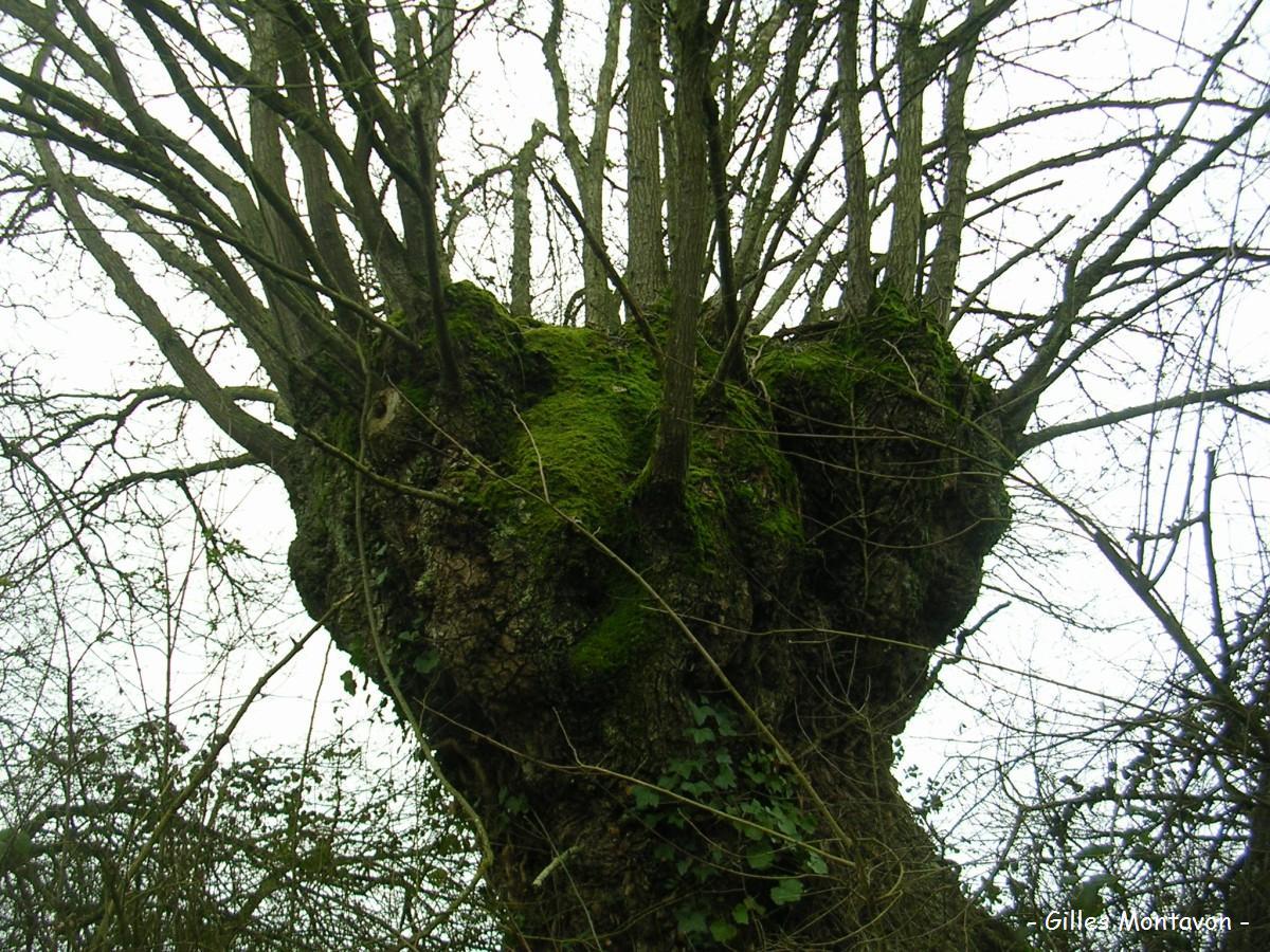 Le chêne à grosse tête dans 49 - Maine-et-Loire chngrstt1