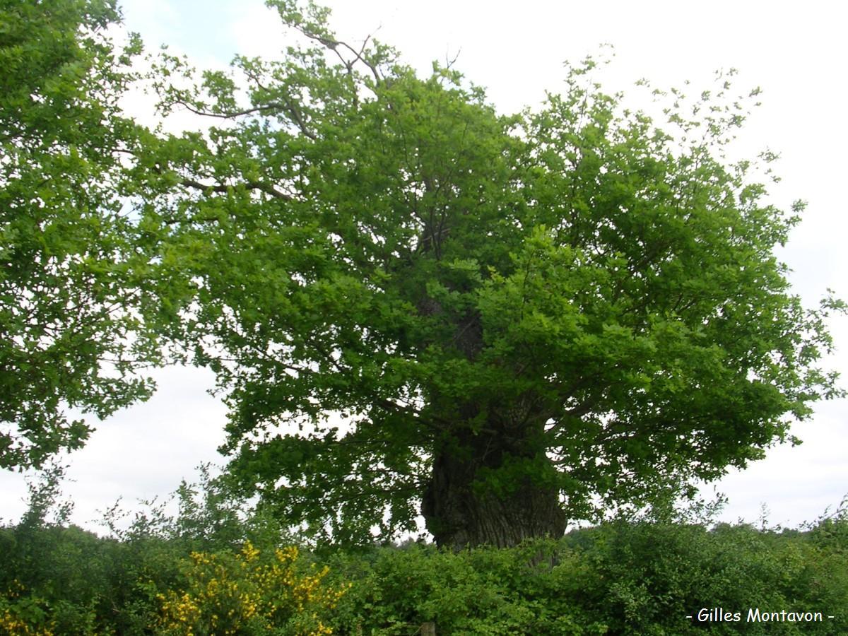 Chêne des Galonnières 1 dans 49 - Maine-et-Loire lattay11