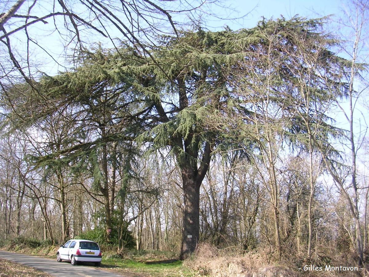 Cèdre de la Giraudière dans 49 - Maine-et-Loire cedregiraudiere1