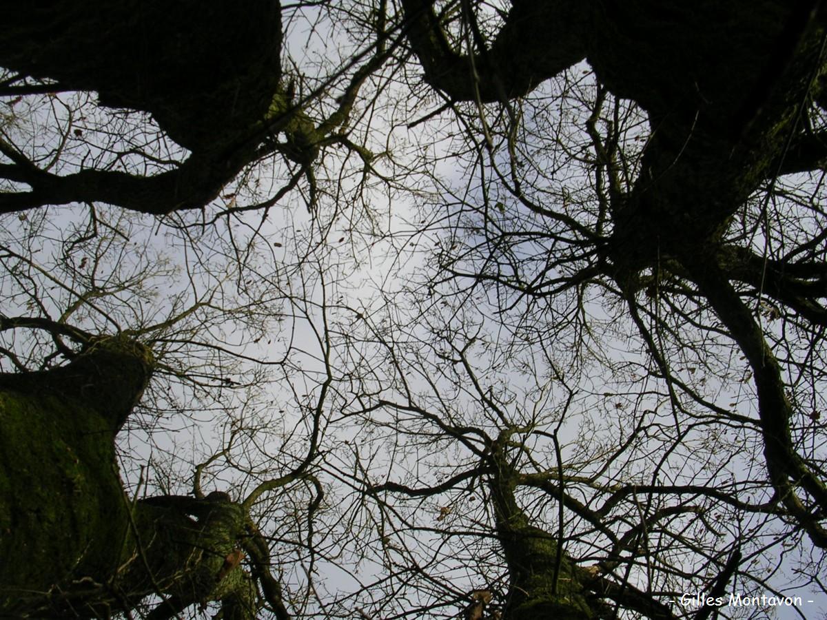 Cépée de chêne Montbenault dans 49 - Maine-et-Loire cepeemontbenault1