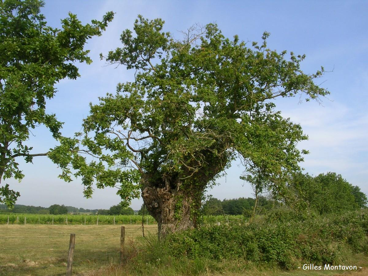Chêne des Galonnières 2 dans 49 - Maine-et-Loire chene2galonn1
