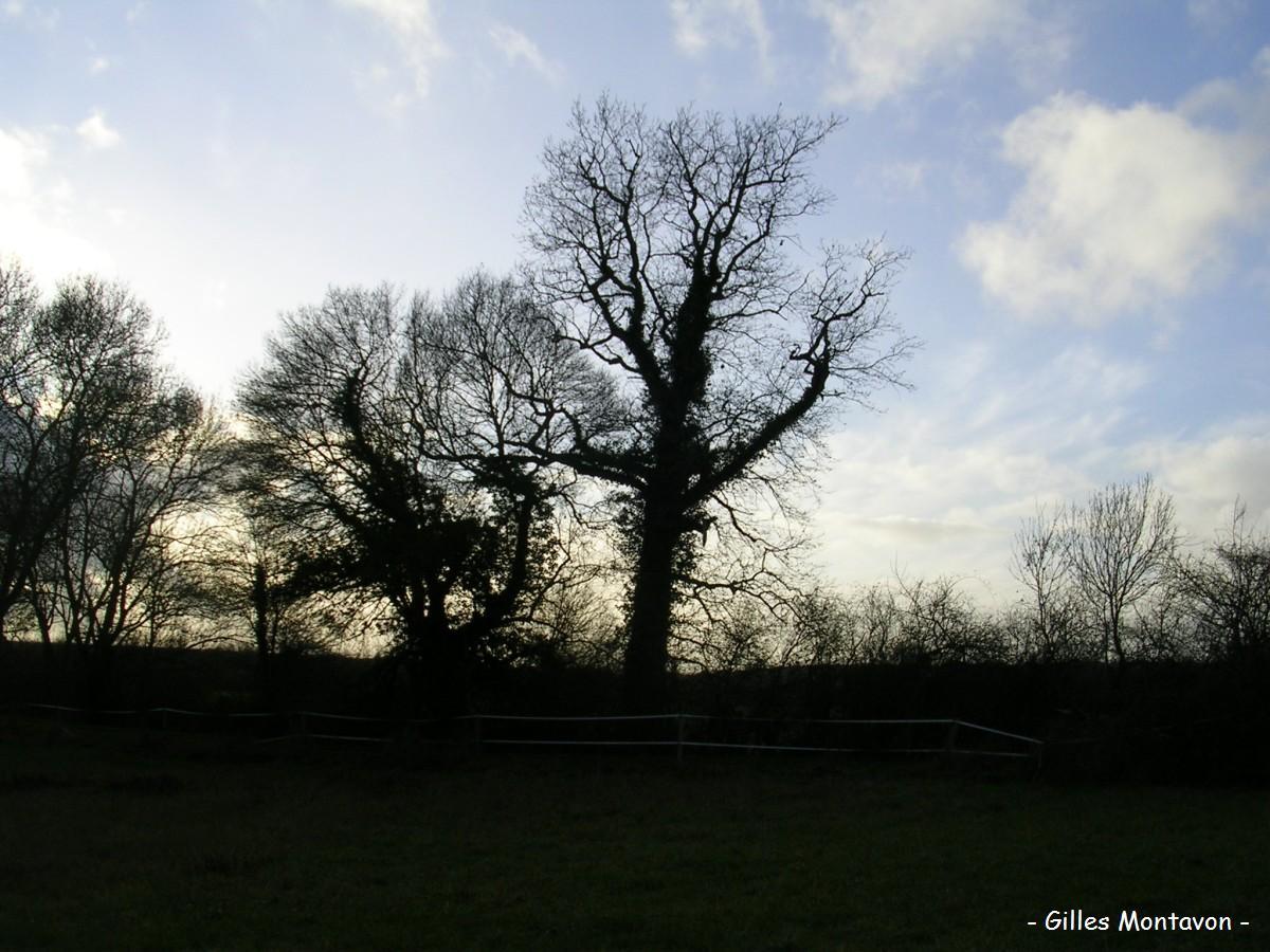 Chêne de Montbenault 2 dans 49 - Maine-et-Loire chene2montbenault1