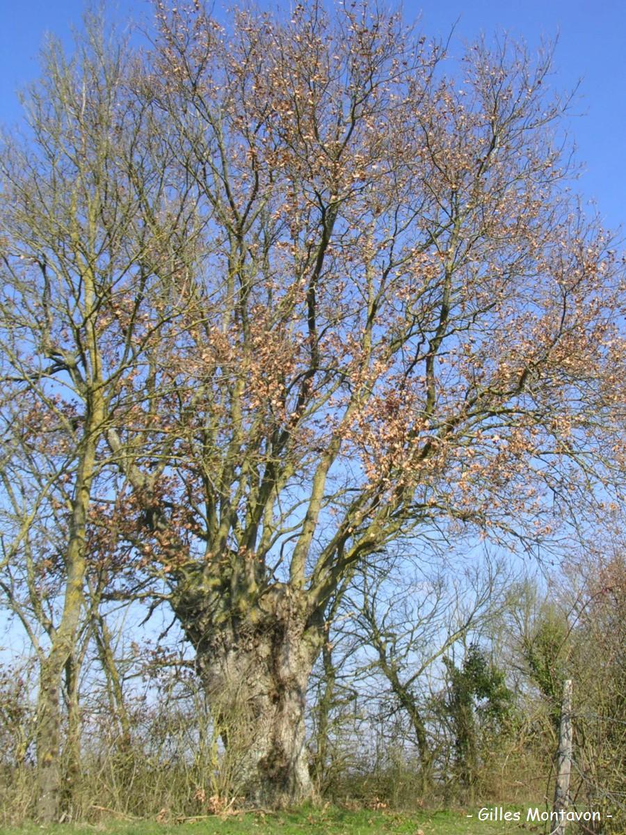 Chêne des bas champs 1 dans 49 - Maine-et-Loire chene375baschamp1