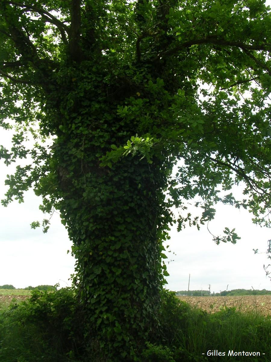 Chêne des Galonnières 3 dans 49 - Maine-et-Loire chene3galonnires1