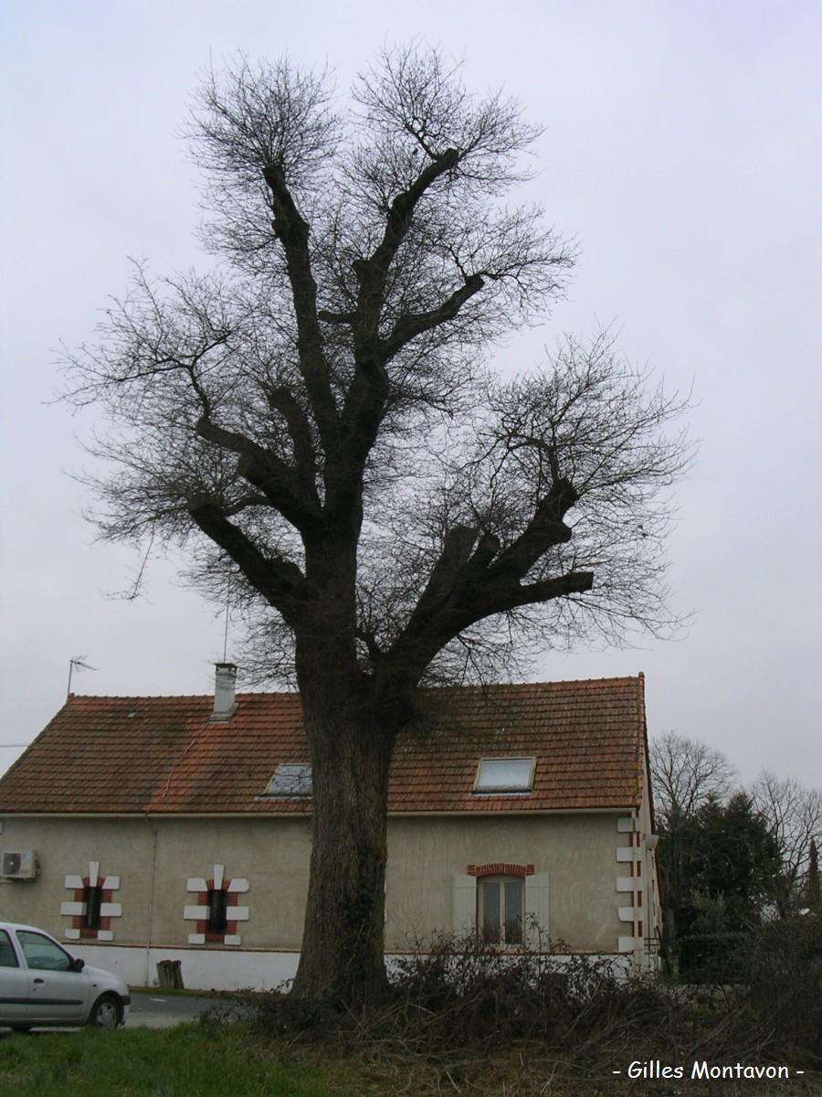 Chêne de Barbechat dans 49 - Maine-et-Loire chenebarbe1