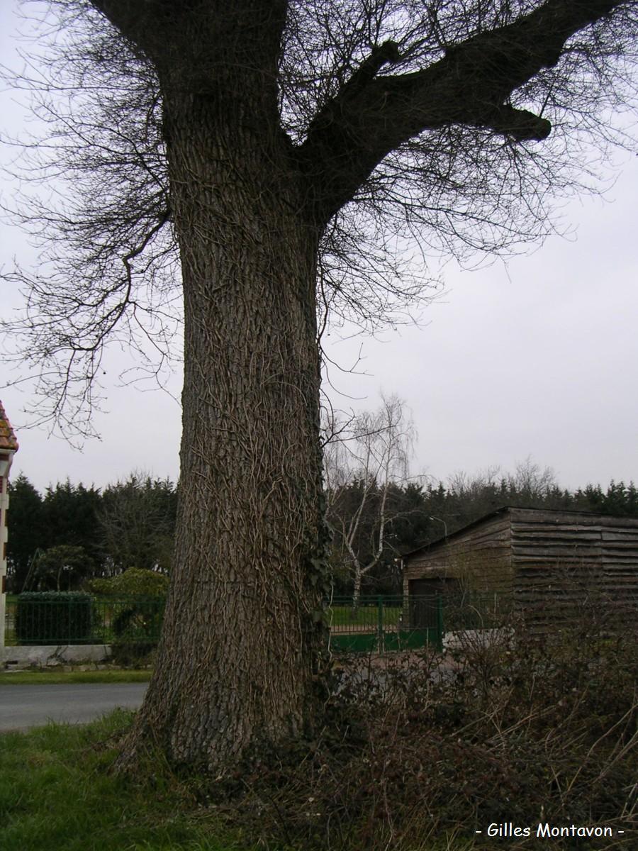 chenebarbe2 dans Chêne