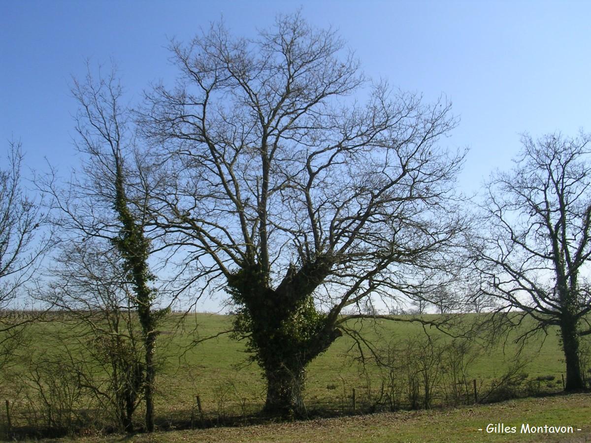 Chêne du vallon de l'étang 1 dans 49 - Maine-et-Loire cheneduvallon1