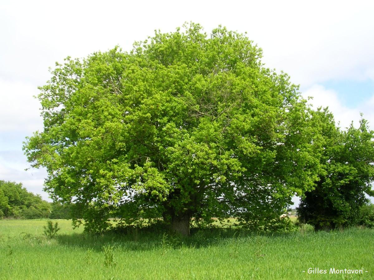 Gros chêne du Fondreau dans 49 - Maine-et-Loire chenefondreau1