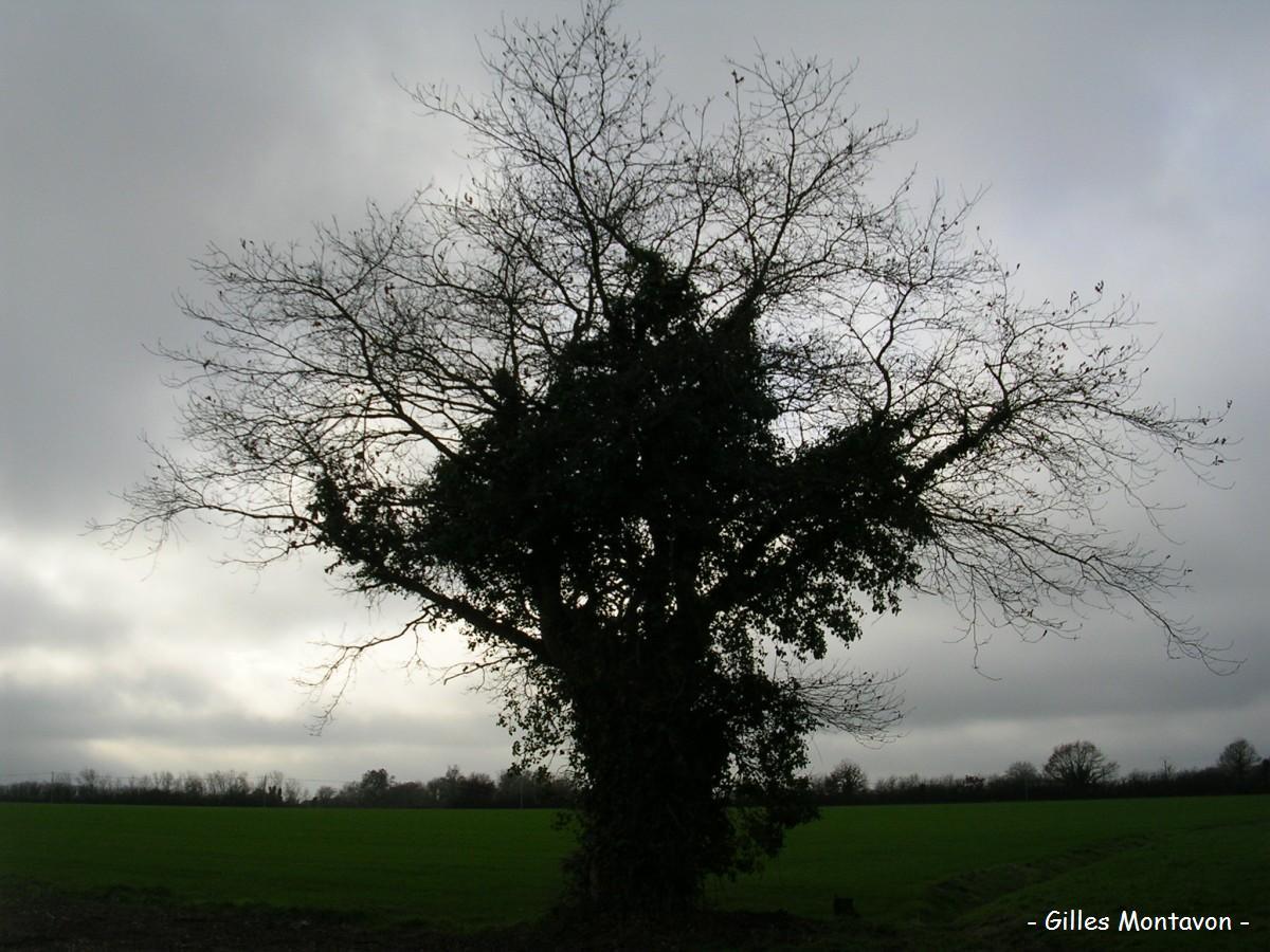Chêne de la Maison des Gardes dans 49 - Maine-et-Loire chenegarde1