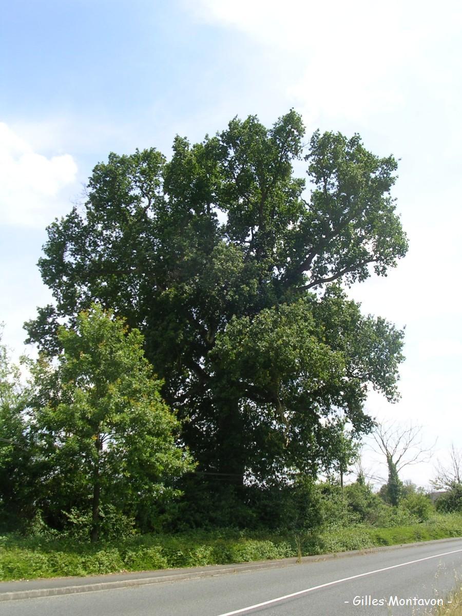 Chêne de Saint-Georges-sur-Loire dans 49 - Maine-et-Loire chenestgeorges1