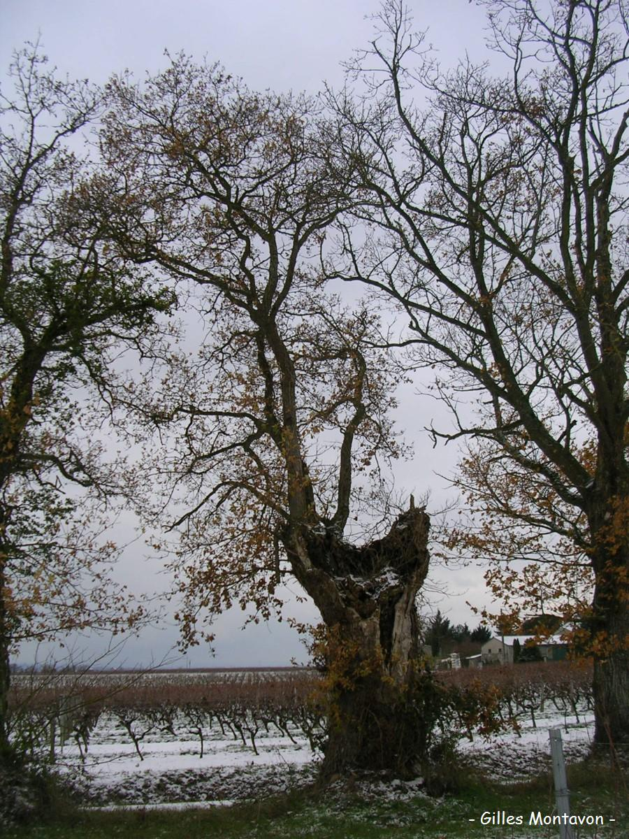 Chêne de la Haye 1 dans 49 - Maine-et-Loire lahaye1
