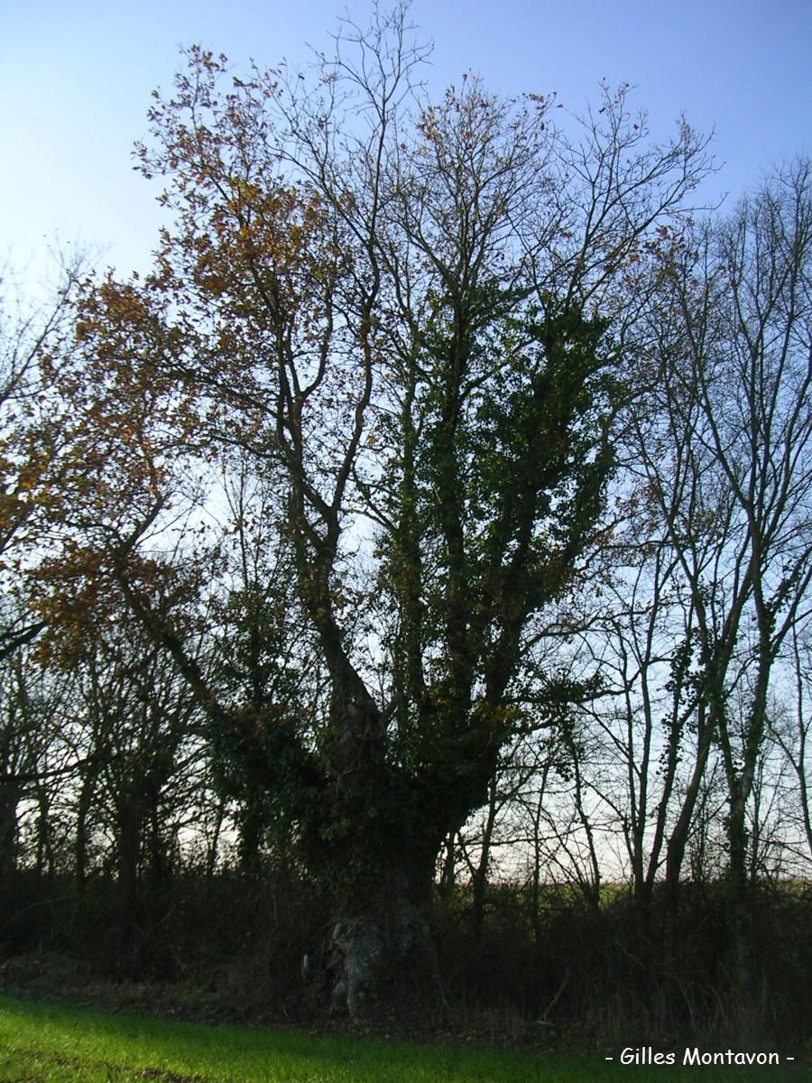 Chêne du Ponceau 1 dans 49 - Maine-et-Loire ponceau1