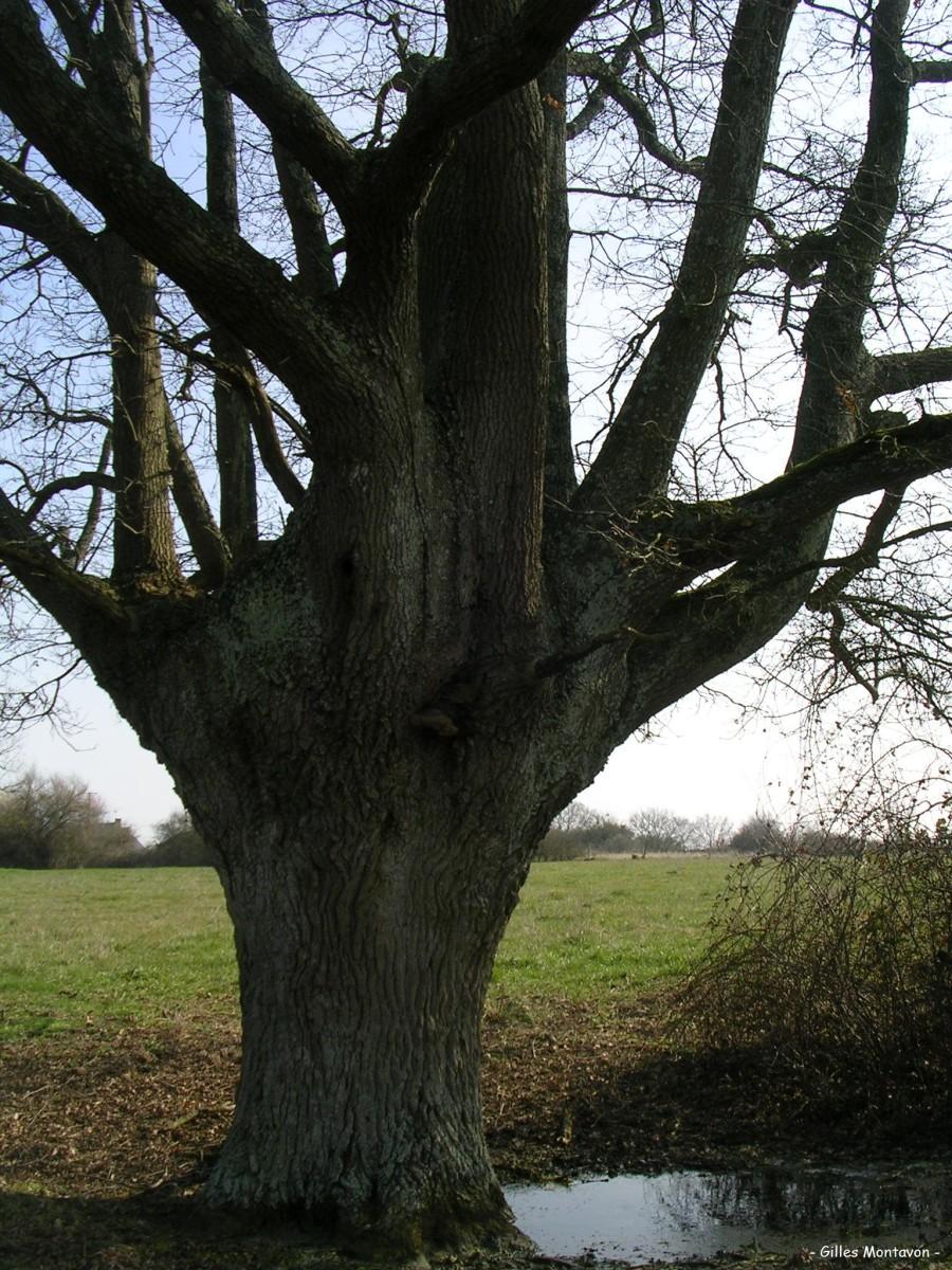 cheneleard2 dans Chêne