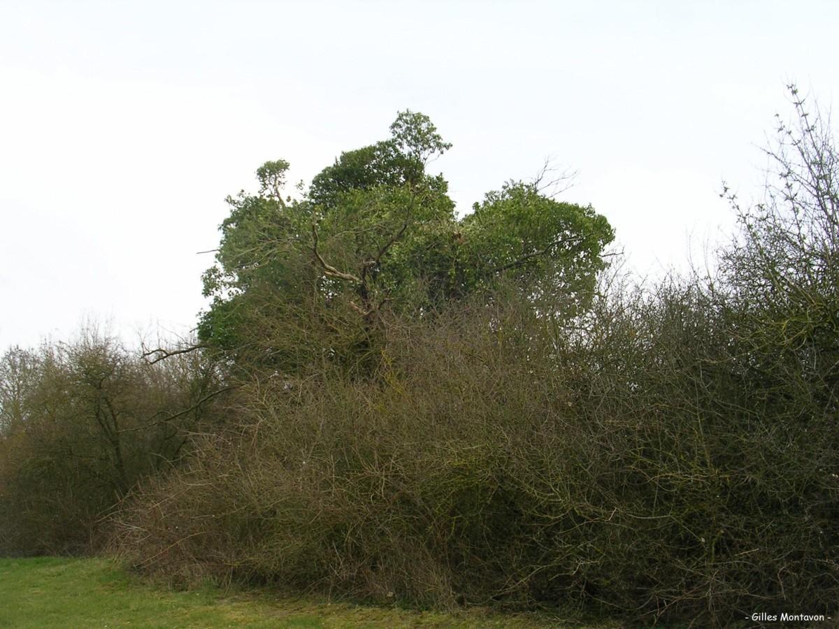 Chêne et lierres de Bas-Mont dans 49 - Maine-et-Loire chneetlierredebasmont1