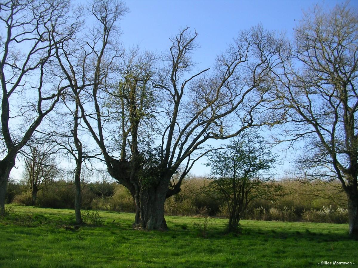 Chêne de Bas Virfollet dans 49 - Maine-et-Loire chnvirfolet1