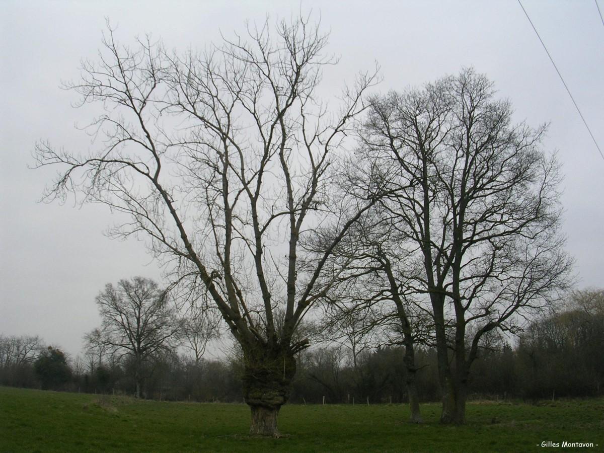 Peuplier de Monpertuis dans 49 - Maine-et-Loire peupliermonpertuis1