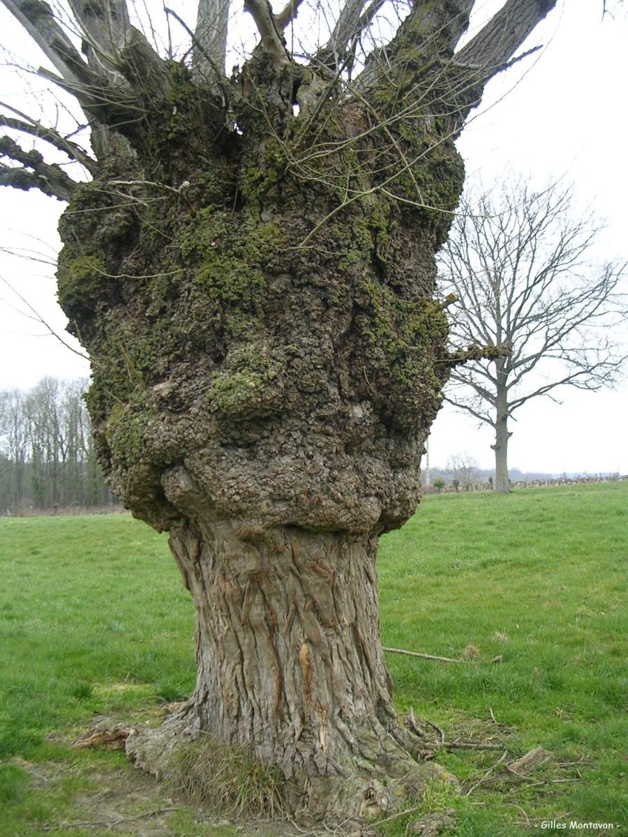 Arpenteur des Bois » Peuplier de Monpertuis ~ Bois De Peuplier