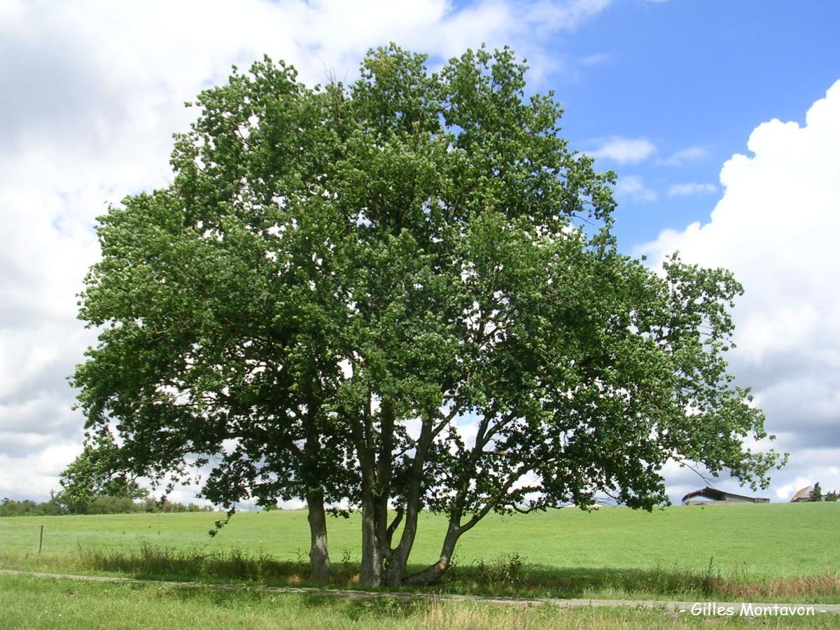 Cépée de chêne de Bas-Mont dans 49 - Maine-et-Loire basmont1