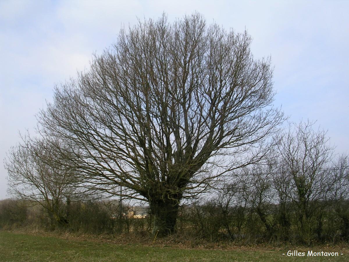 Chêne de la Brosse dans 49 - Maine-et-Loire chnedelabrosse1