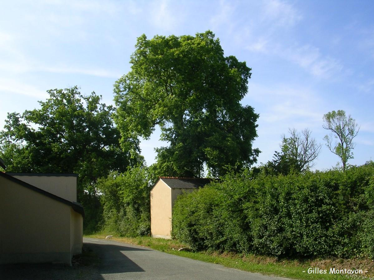 Orme de la Rondivellerie dans 49 - Maine-et-Loire orme1