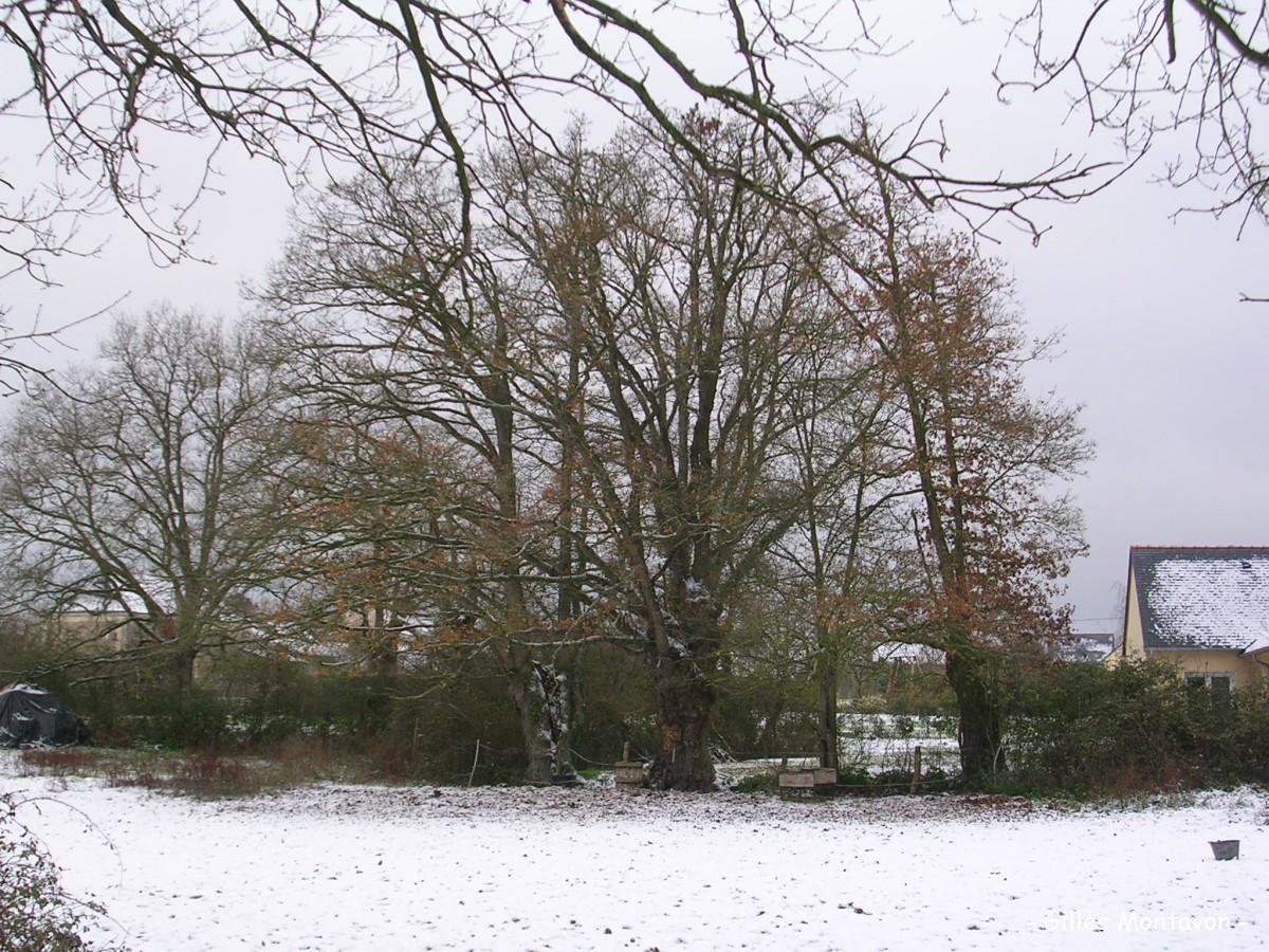 Chêne du chemin des Guingons dans 49 - Maine-et-Loire chneguinguon1