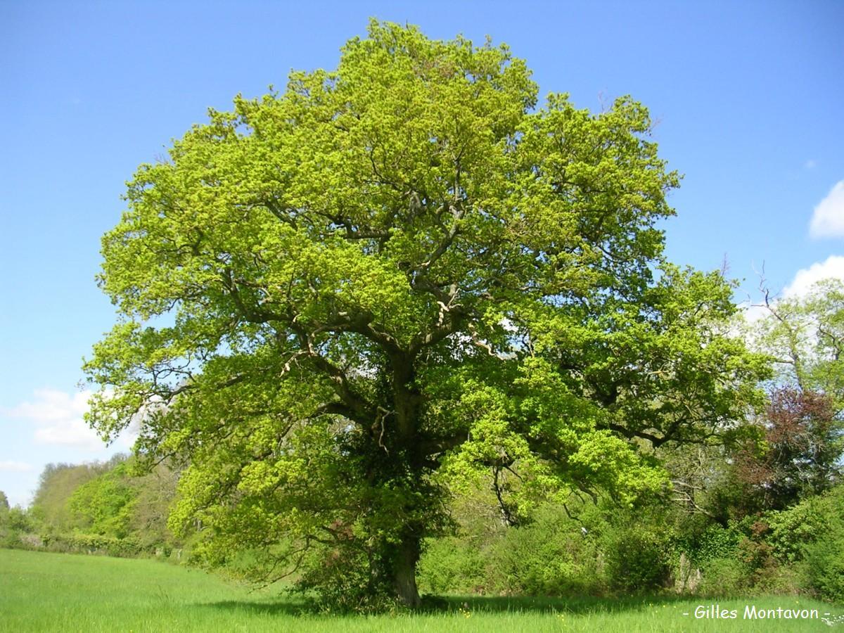 Gros chêne de Montbenault dans 49 - Maine-et-Loire groschnemontbenault1
