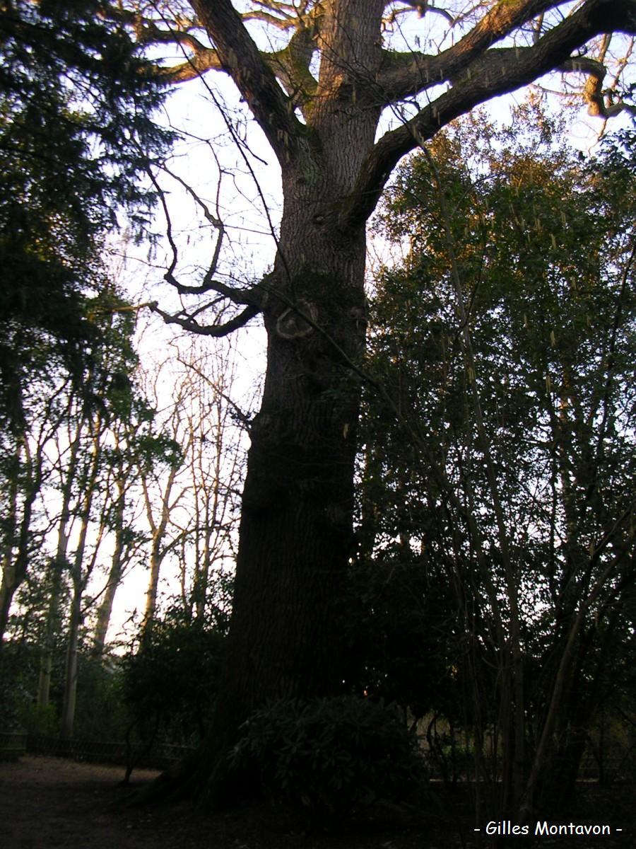 Chêne du parc du Pin dans 49 - Maine-et-Loire chne1